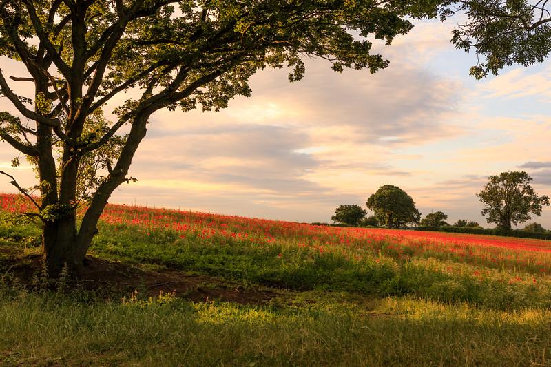 Poppies in Evening Light