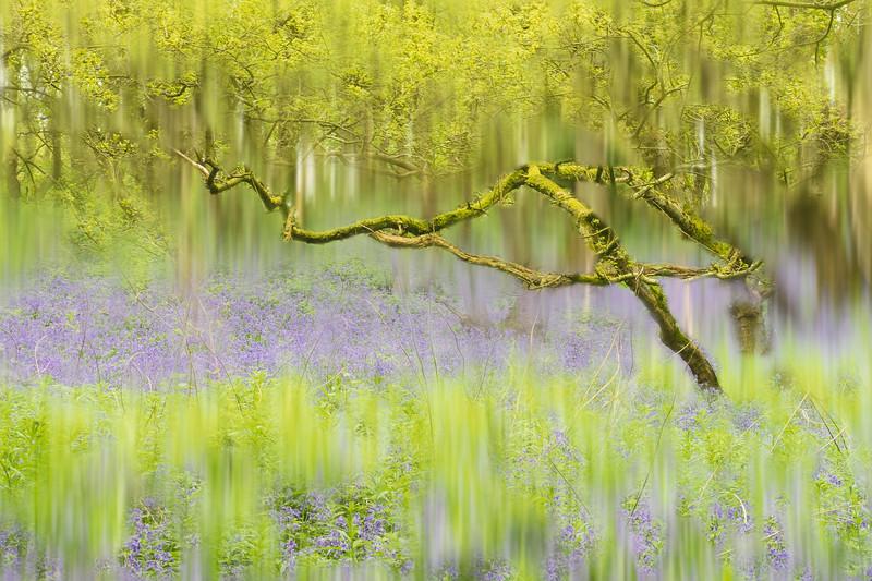 Bluebells in Burleigh Wood