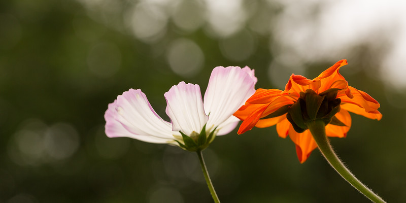 Cosmos and Mexican Sunflower
