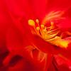 Heart of Begonia