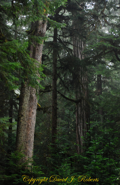 Big old trees off Highway 542 near Mount Baker WA