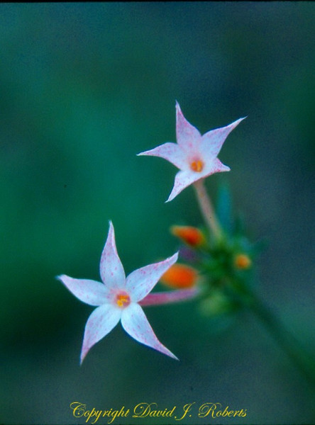 Delicate Star flowers