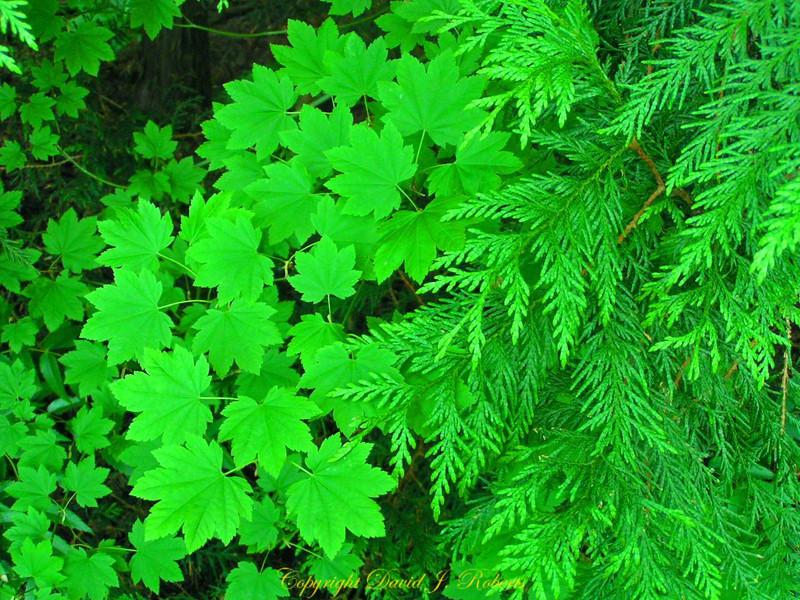 Cedar and salmonberry forest scene