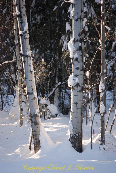Snow on aspens in morning light