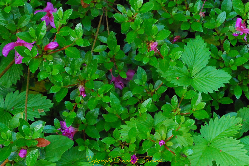 Azalea and wild strawberry