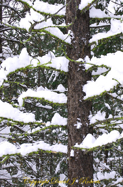 Snow on pines, Mazama, Washington