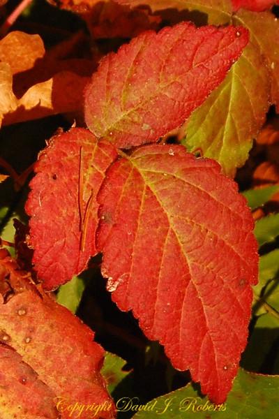 Fall Blackberry leaves
