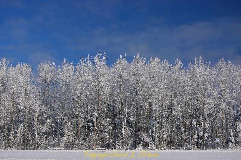Snow on trees with blue skies