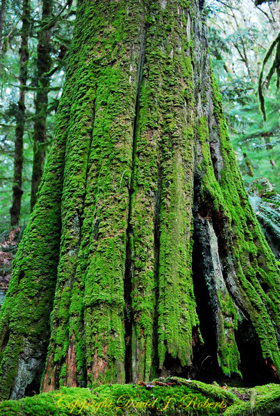 Old cedar tree with moss, Lake Padden Park, Bellingham Washington