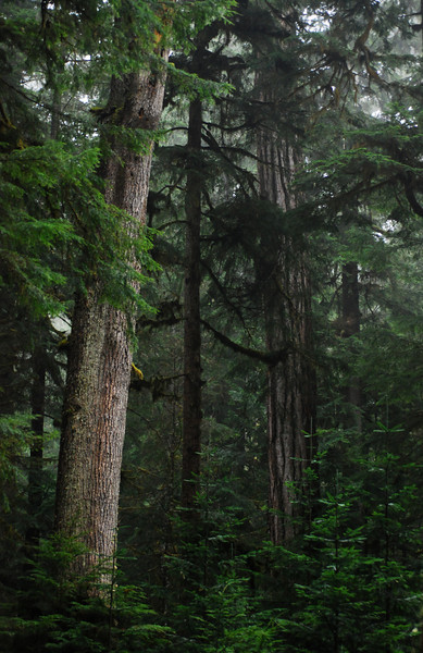 Big Trees, Old Growth Forest near Baker Highway, Washington