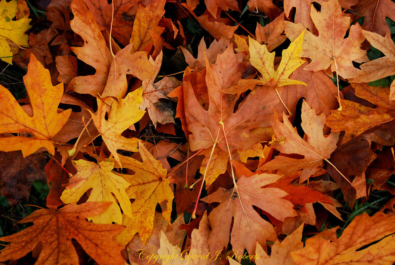 Maple leaves on forest floor