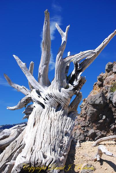 White stump at Crater Lake National Park