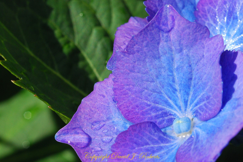 We grow gorgeous huge hydrangeas on the north side of our house. This photo was taken just outside our back door.