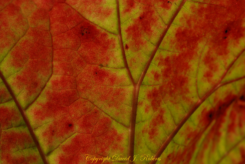 Reds and yellows and the geometric structure of a leaf up close