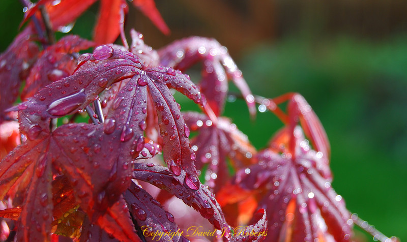 "Red maple leaves after a shower... The drops are hanging as if saying - ""What's next?"""