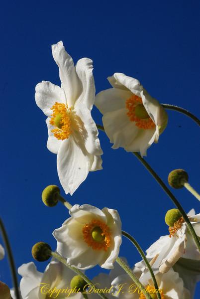 Anenomies dancing in the sunlit blue sky