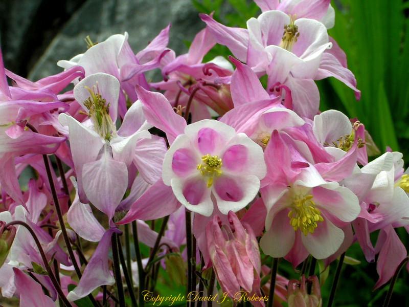 Columbine blossoms up close