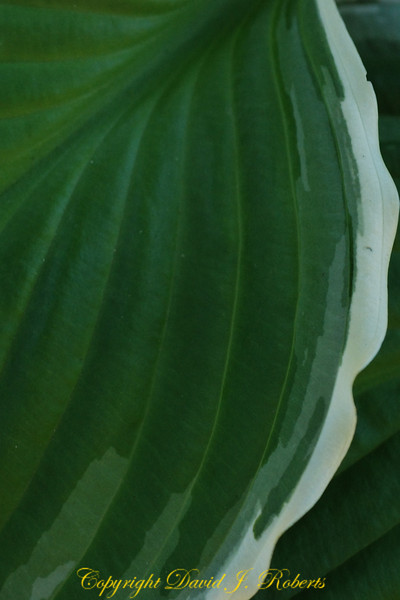 A waterfall of green in a calla lily