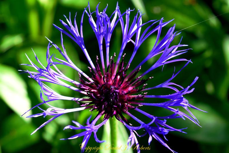 Delicate purple blooms of Centari Montana