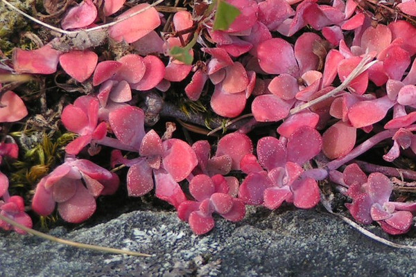 These gorgeous pink suculents were found clinging to a rocky outcrop on Slat Spring Island