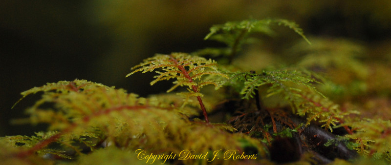 A close up look at moss on a log - panorama