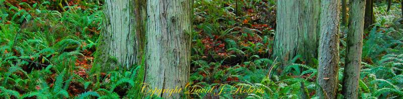 Cedar stand in Stimson Forest near Bellingham, WA  November, 2012.