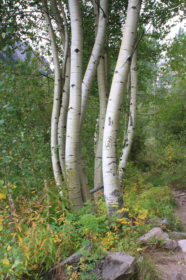 A close-knit group of white aspen curving upward as one - Maroon Bells, Colorado