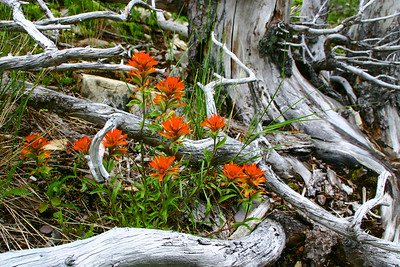 Indian Paintbrush - Glacier National Park, Montana