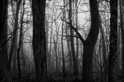 The Foggy Forest