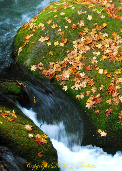 Leaves and moss on a rock near Whatcom Creek, Bellingham WA