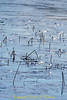Bullrush in the ice, Lake Padden, Bellingham WA