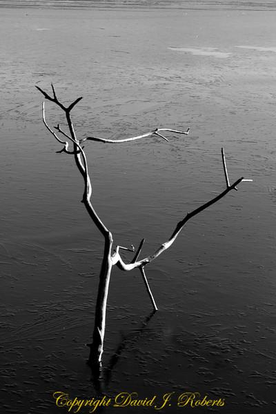 Tree branch in the ice, Lake Padden, Bellingham WA