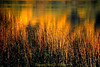 Fall light on water with bullrush, Lake Padden, Bellingham WA