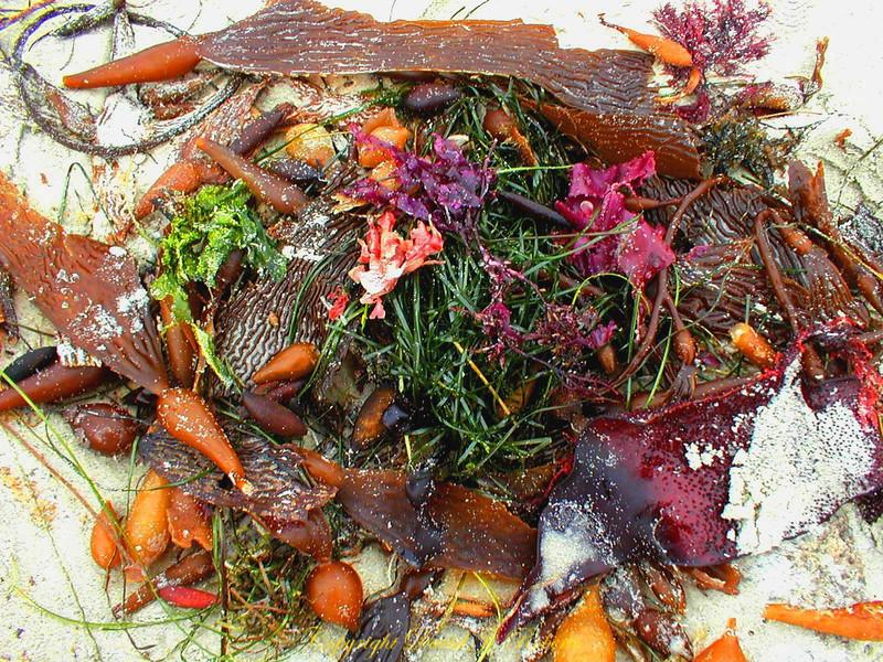 Sea weed near Monterey CA