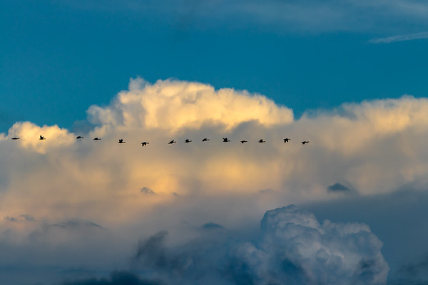 Canada Geese Migrating Over West Michigan