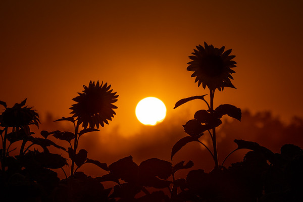 Sunflower Silhouette