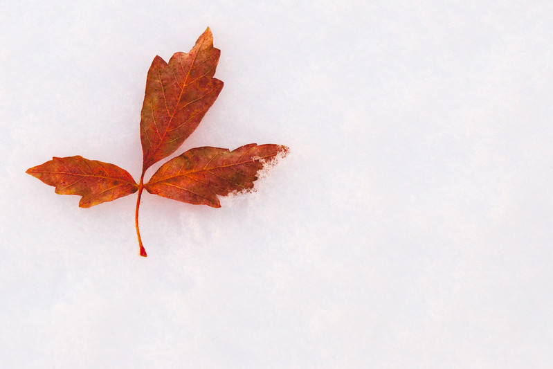 Fallen maple leaf in the snow