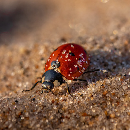 Lady Bug Beach Bum