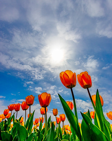 Tulips Reach for the Sky
