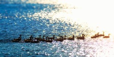 Lake Norman Geese