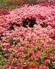 spring at NY Botanical Garden_DSF3181