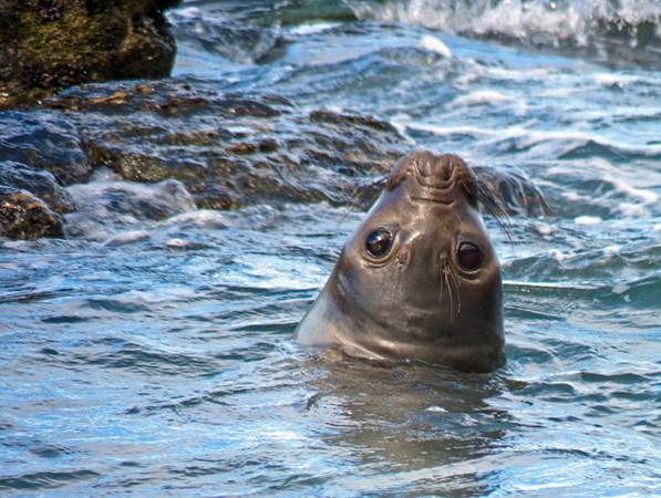elephant seal, Peninsula Valdes, Argentina 3/2010
