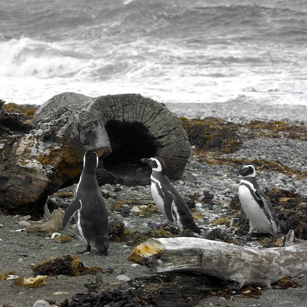 Seno Otway penguins, Chile, October, 2007