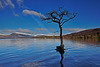 Milarrochy Tree at Loch Lomond - 23 March 2014