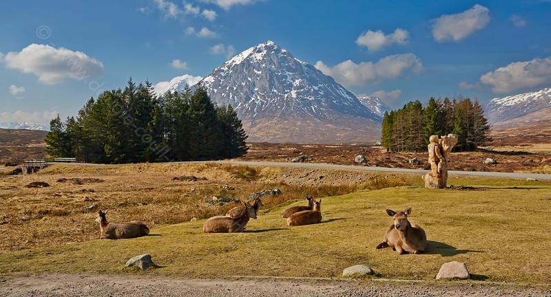 Red Deer Basking in the Spring Sunshine in Glencoe - 18 March 2015