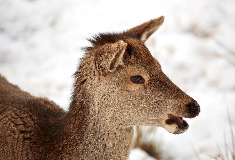 Young Deer in Glencoe - 7 February 2015
