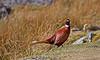 Pheasant in Glencoe - 18 March 2015