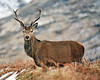 Young Stag at Glen Etive - 7 February 2015