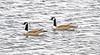 Canadian Geese at Loch Thom - Clyde Muirshiel Regional Park - 29 February 2012