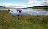 Thistle - Gryffe Reservoir, Greenock